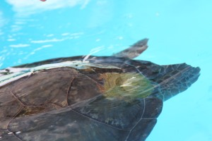 Weight attached to sea turtle's shell to help with buoyancy after injury caused by boat hitting the turtle.